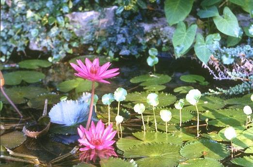 lotus ruisseau